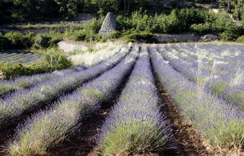 Champ de lavande en Provence dans le Luberon