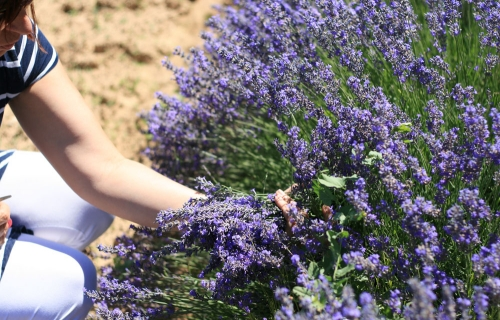 Lavande au jardin en Provence
