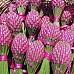 Fuseaux de lavande de Provence avec rubans de couleur fushia